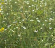 Mycket små vita blommor på ängen arkivfoton