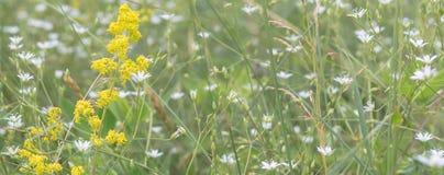 Mycket små vita blommor på ängen arkivbilder