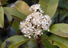Mycket små vita blommor på en grön häck Royaltyfria Foton