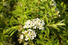 Mycket små vita blommor på en utsmyckad grön filial Royaltyfri Bild