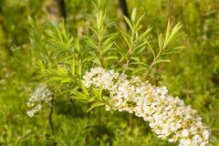 Mycket små vita blommor på en utsmyckad grön filial Royaltyfri Fotografi