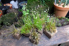 Mycket små vita blommor på stenen lägger in i trädgården Fotografering för Bildbyråer