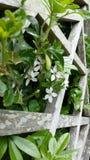 Mycket små vita blommor som kommer till och med ett staket Royaltyfri Bild