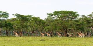 Mycket stor grupp av giraff Nakuru Kenya Arkivbilder