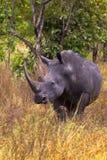 Mycket stor noshörning Meru parkerar Arkivfoton