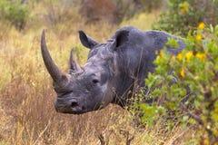 Mycket stort huvud Vit noshörning Meru parkerar Arkivfoton