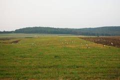 Mycket svartvit stork i fältet Royaltyfria Bilder