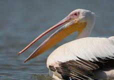 Mycket tätt upp fragmente av ståenden av den vita pelikan Arkivfoto