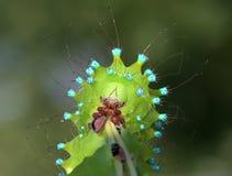 Mycket tätt upp ståenden av larven av den jätte- påfågelmalen royaltyfri fotografi