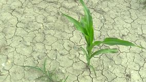 Mycket torrt fält för torka med majshavrezeaen maj som upp torkar jorden stock video