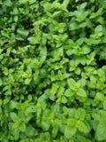 Mycket trevliga mintkaramellväxter i landsbygder fotografering för bildbyråer