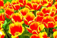 Mycket trevliga och härliga färgrika tulpan i sommarväder arkivfoto