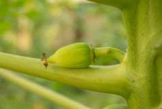 Mycket unga gröna papayas på papayaträd Arkivbild