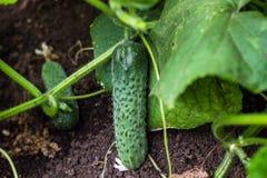 Mycket unga nya gurkor växer i trädgården i den öppna jordningen mot en bakgrund av saftiga gröna sidor, närbildmakro arkivbild