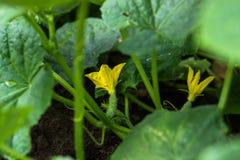 Mycket unga nya gurkor växer i trädgården i den öppna jordningen mot en bakgrund av saftiga gröna sidor, närbildmakro arkivbilder