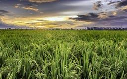 Mycket vidsträckt, bred, omfattande rymlig risfält som sträcks in i horisonten Arkivbild