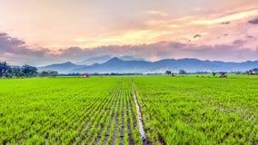 Mycket vidsträckt, bred, omfattande rymlig risfält, streched in i horisonten Arkivfoto