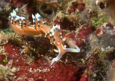 Mycket vilar den önskade eller önskvärda flabellinaen, exoptata på korall av Bali Arkivfoton