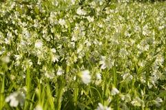 Mycket vita blommor i en skogglänta Royaltyfria Foton