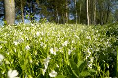 Mycket vita blommor i en skogglänta Fotografering för Bildbyråer