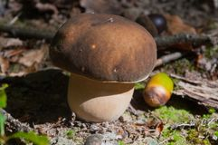 Mushrooms, forest, eukaryotic organisms, food, nature, wildlife. Mycology, mushrooms, forest, eukaryotic organisms, food, nature, wildlife, Taxonomy, botany royalty free stock image
