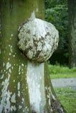 Mycose op een boom Stock Foto