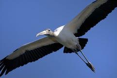 Mycteria americana, wood stork. Flyby Royalty Free Stock Photography