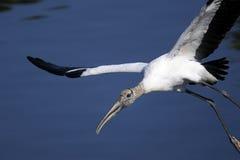 Mycteria americana, wood stork. Flyby Royalty Free Stock Photo