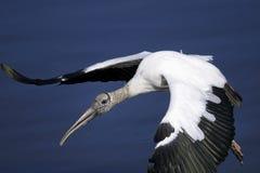 Mycteria americana, wood stork Stock Image