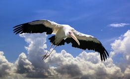 Mycteria bird flying with open wings under blue cloudy sky. Mycteria bird with open wings flying under blue cloudy sky Royalty Free Stock Photos