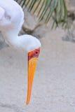 Mycteria ibis, tantalu afrykanin Obraz Stock