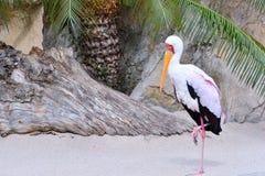Mycteria ibis, Tantalum African. Stock Photo