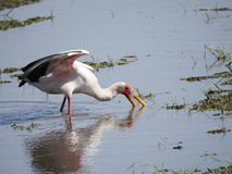 Mycteria ibis or Wood Ibis in Chobe National Park. Chobe National Park, Botswana-August 18, 2016:The beautiful Chobe National Park is found in the north of Stock Image