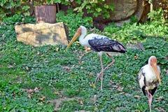 Mycteria Leucocephala Portrait Closeup Stork Exotic Birds Asia Stock Photo stock photo