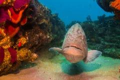 海湾石斑鱼(Mycteroperca jordani) 库存图片