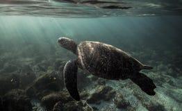 Mydas de Chelonia de tortue de mer verte nageant sous l'eau dans les îles de Galapagos Images stock