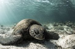 Mydas de Chelonia de tortue de mer verte se reposant sur le fond océanique arénacé Photos stock