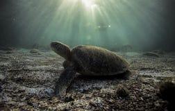 Mydas de Chelonia de tortue de mer verte se reposant sur le fond océanique arénacé Photographie stock libre de droits