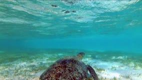 Mydas del Chelonia de la tortuga que nadan en un prado de la alga marina almacen de video