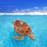 Mydas di Chelonia della tartaruga di mare verde caraibici Fotografie Stock