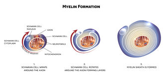Myelin sheath of the neuron. A schwann cell envelops and rotates around the axon forming myelin sheath, now axon is myelinated. Close-up detailed anatomy Royalty Free Stock Image