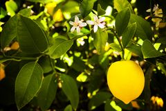 Myer Lemon. Shot of a ripe Myer lemon still on the tree stock photography