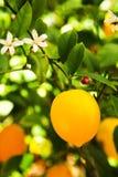 Myer Zitrone Lizenzfreies Stockbild