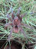 Mygale zdjęcie royalty free