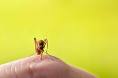 mygga Fotografering för Bildbyråer