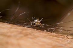 mygga Arkivfoto