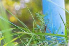 Mygga en kranfluga i ett gräs arkivfoto