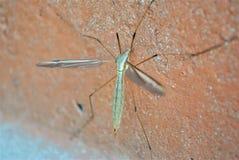 Mygga för fotografi för naturkrypmakro arkivbild