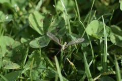 Mygga på ett gräs Royaltyfria Foton