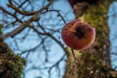 Mygga på ett ruttet äpple Arkivbild